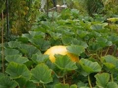 Pumpkin -- Pumpkins were much smaller than normal