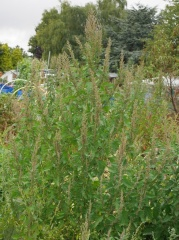 Chenopodium -- Are these just Chenopodium album (Fat Hen or Lambsquarters) or one of the cultivated Chenopodiums gone wild?