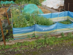 Carrot barrier -- Carrot barrier - introduced by the HDRA (now Garden Organic) back in the late 1970s....against carrot root fly....apparently the flies fly low to the ground. It never worked for me...