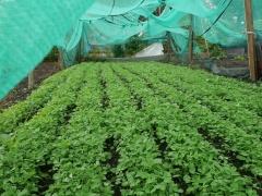 Methi, Fenugreek leaf crop -- Methi, Fenugreek leaf crop