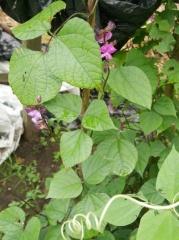 Lablab purpureus (Lablab or Hyacinth beans) -- Lablab purpureus (Lablab or Hyacinth beans)
