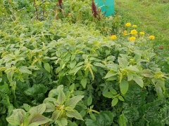 Callaloo / Amaranth -- Callaloo / Amaranth