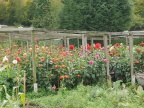 Some of Brian Carter's Dahlias