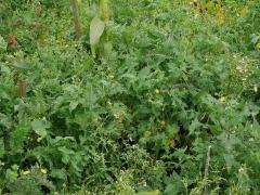 Sonchus oleraceus here too! -- Sonchus oleraceus here too!
