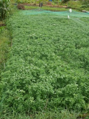 A methi plot...for the market -- A methi plot...for the market (fenugreek greeens)