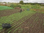 Monoculture on the allotment
