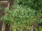 Flowering watercress on the Chinese plot