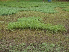 A large plot of partly cut mint on an Indian plot -- A large plot of partly cut mint on an Indian plot