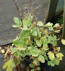 """Masterwort variegated cultivar Daphnis -- Peucedanum ostruthium (masterwort) variegated cultivar """"Daphnis"""""""
