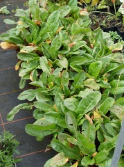 """Rumex acetosa """"Abundance"""" -- Rumex acetosa """"Abundance"""", one of the non-flowering cultivars mentioned in my book!"""