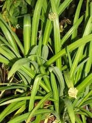 """Probably Hooker's onion, Allium hookeri -- Probably Hooker's onion, Allium hookeri, a species which is known to be cultivated in home gardens in the eastern Himalayas; this plant  was found on a market in Aizawl, Mizoram, Eastern India by Paul Barney. It is growing slowly in my garden. Paul has named this form Allium hookeri """"Zorami"""". It gets a mention in my book, but the Zorami name isn't given."""