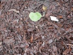 Crambe cordifolia / buskstrandkål -- Crambe cordifolia / buskstrandkål