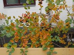Aronia - already in the garden! -- Aronia - already in the garden!