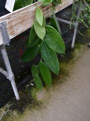 Cavendishia grandifolia from Ecuador! -- Cavendishia grandifolia from Ecuador! This genus is related to the Vacciniums (in the Vaccinieae)