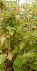 Rubus hawaiensis -- Rubus hawaiensis