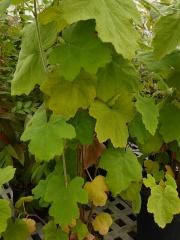 Rubus multibracteatus  -- Another Chinese species, Rubus multibracteatus