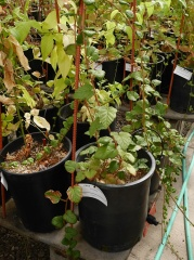 Rubus tricolor -- Chinese Rubus tricolor