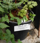 "Rubus occidentalis ""Black Knight"""