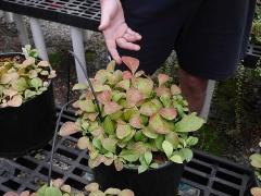 Vaccinium praestans  -- Vaccinium praestans, the Kamtchatka bilberry