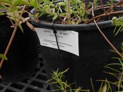 Pycnanthemum hybrid -- Pycnanthemum hybrid