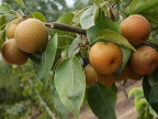 Japanese Golden Russet, A Nashi Pear