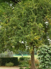 Crataemespilus grandiflora