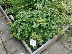 Sæhvönn (Ligusticum scoticum) -- Sæhvönn (Ligusticum scoticum)