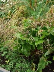 Kúmen (Carum carvi) -- Kúmen (Carum carvi) seed is picked on the island Viðey in the autumn