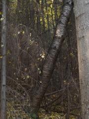 Wild cherry tree -- Wild cherry tree (Prunus avium)