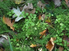 Chickweed and yarrow -- Chickweed (Stellaria media) and yarrow (Achillea)