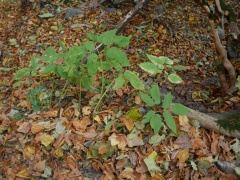Giant Ground Elder -- Giant Ground Elder (Aegopodium)