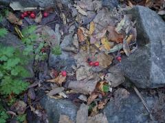 Sorbus spp., Rowan -- Sorbus spp., Rowan (there are 9 species in Bulgaria)