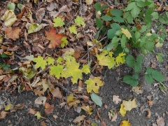 Norway maple, Acer platanoides with blackberry -- Norway maple, Acer platanoides with blackberry