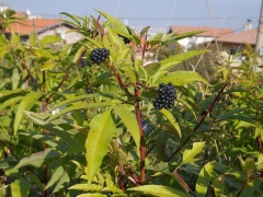 Sambucus ebulus -- Sambucus ebulus: Maria told me that they used the berries