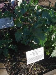 Wild perennial kale -- Wilder strauch-kohl (literally wild bush kale)