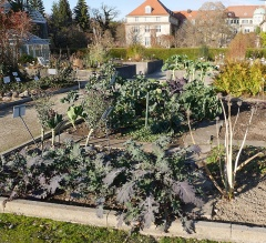 Brassica oleracea diversity -- Brassica oleracea diversity