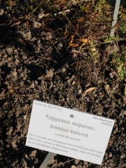 Polygonum viviparum, Alpine Bistort -- Polygonum viviparum, Alpine Bistort, an example of a viviparous plant