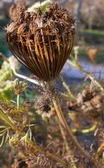Ammi visnaga, Toothpick plant pedicels -- Ammi visnaga, Toothpick plant pedicels....I gave it a go....it worked