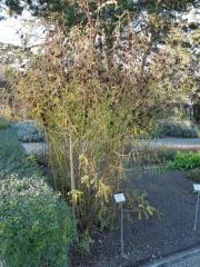 Glycyrrhiza glabra, Licorice -- Glycyrrhiza glabra, Licorice