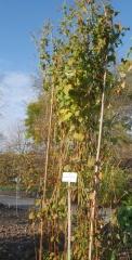 Perennial buckwheat, Fagopyrum acutatum -- One of my Perennial buckwheats (Fagopyrum cynosum) grew very tall this sumemr! It seems, this isn't unusual!