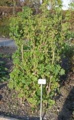Malva verticillata -- My Malva verticillata never gets this tall either!