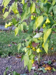 Capsicum baccatum -- Capsicum baccatum