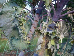 """Red Tree Collards? -- This beauty also looks perennial , Brassica sabellica """"Rote Palme""""  (Red palm kale?)"""