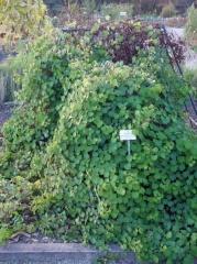 Mashua, Tropaeolum tuberosum -- Mashua, Tropaeolum tuberosum - no sign of flowers on this...
