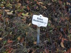 Rubus illecebrosus -- Rubus illecebrosus