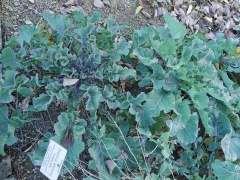 Wild perennial kale -- In the systematic beds, more wild perennial kales..notice the variability , so presumably seed propagated plants