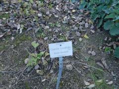 Crambe cordifolia -- Crambe cordifolia