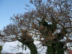 Ivy covered Paulownia tomentosa -- Ivy covered Paulownia tomentosa