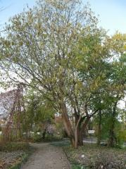 Paper mulberry (Broussonetia papyrifera) -- Paper mulberry (Broussonetia papyrifera)