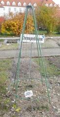 Hablitzia tamnoides -- Hablitzia tamnoides, died down for the winter